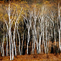 Quabbin Birches by Richard Danek