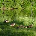 Quack Quack Quack Goes The Geese by Daniel Henning