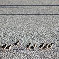 Quail Lines by Rasma Bertz