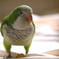 Quaker Parrot by Mark Platt