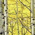 Quaking Aspen Fall by Heath Bollock