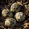 Quartet Of Killdeer Eggs By Jean Noren by Jean Noren