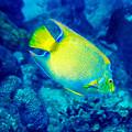 Queen Angelfish I by Perla Copernik