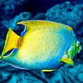 Queen Angelfish II by Perla Copernik