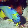 Queen Angelfish, U. S. Virgin Islands 7 by Pauline Walsh Jacobson
