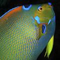 Queen Angelfish, U. S. Virgin Islands 8 by Pauline Walsh Jacobson