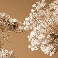 Queen Anne's Lace 2 by Chris Scroggins