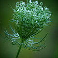 Queen Annes Lace - 365-164 by Inge Riis McDonald