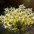 Queen Anne's Lace by Diane Merkle