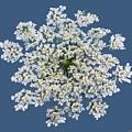 Queen Anne's Lace Flower by Lise Winne