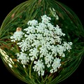 Queen Anne's Lace In A Bubble by Delores Malcomson
