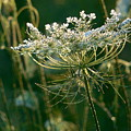 Queen Anne's Lace In Green Horizontal by Rowena Throckmorton