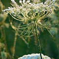 Queen Anne's Lace In Green Vertical by Rowena Throckmorton