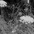Queen Annes Lace by Jean Tippens