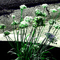 Queen Anne's Lace by Lenore Senior