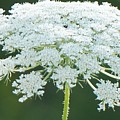 Queen Anne's Lace by Maxine Billings