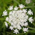 Queen Anne's Lace No 2 by Phyllis Taylor