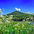 Queen Anne's Lace, Peaks Of Otter  by The American Shutterbug Society