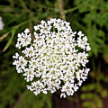 Queen Anne's Lace by Phyllis Taylor