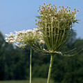 Queen Anne's Lace by Racquel Morgan