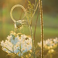 Queen Anne's Lace Sunset by Rowena Throckmorton