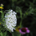 Queen Anns Lace by David Arment