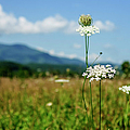 Queen Ann's Lace by Larry Braun