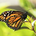 Queen Butterfly by Bob Slitzan