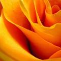Queen Rose by Rhonda Barrett