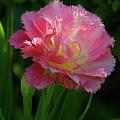 Queensland Tulip by Byron Varvarigos