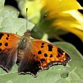 Question Mark Butterfly by Betsy LaMere