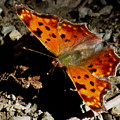 Question Mark Butterfly by Joshua Bales