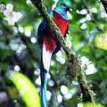 Quetzal In Monteverde by Charles Wollertz