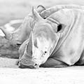 Rhino Quiet Moment by EduArt Studio