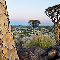 Quiver Tree Aloe Dichotoma, Quiver Tree by Panoramic Images