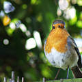 Quizzical Robin by Chris Day