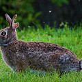 Rabbit by Amber D Hathaway Photography