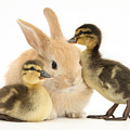 Rabbit And Ducklings by Mark Taylor