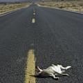 Rabbit Road Kill by Dawn Kish