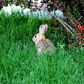 Rabbit Sitting Outdoors. by Oscar Williams