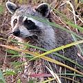 Raccoon 2 by J M Farris Photography