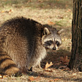 Raccoon #4 by Judy Whitton