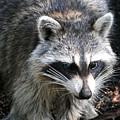 Raccoon by Alan Lenk