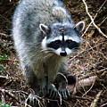 Raccoon  by Anthony Jones