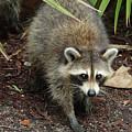 Raccoon Bandit by Carol Groenen