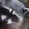 Raccoon by Ben Upham III
