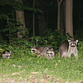 Raccoon Family by George Jones