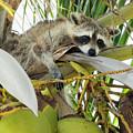 Raccoon In A Palm Tree On A Sunny Day by Bob Slitzan