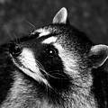 Raccoon Looking by David Lee Thompson