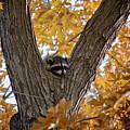 Raccoon Nape by Karen Goodwin